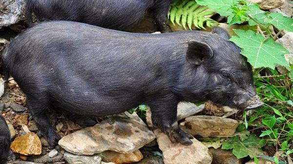 Lào Cai nổi tiếng đặc sản thịt Lợn Mường Khương thơm ngon nhất nước