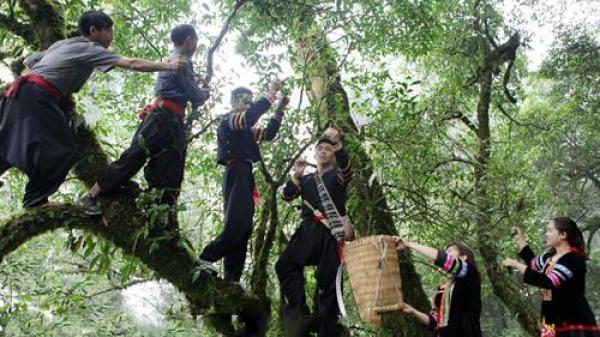 """Lai Châu: Vùng chè cổ """"hiếm có khó tìm"""" trên đỉnh Tả Liên Sơn"""