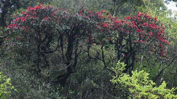 Hoa đỗ quyên khoe sắc trong Vườn Quốc gia Hoàng Liên (Lào Cai)