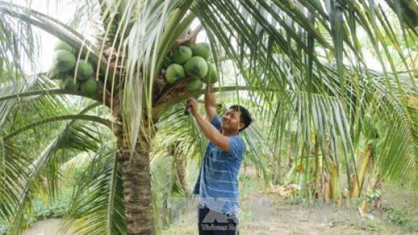 Giá dừa Bến Tre tăng gấp đôi đợt Tết Nguyên đán, nông dân phấn khởi