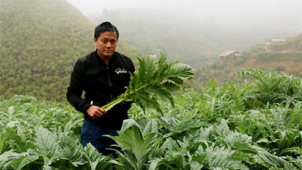 Chốn sương mù ở Lào Cai, kiếm bộn tiền nhờ loài cây bán cả lá lẫn hoa
