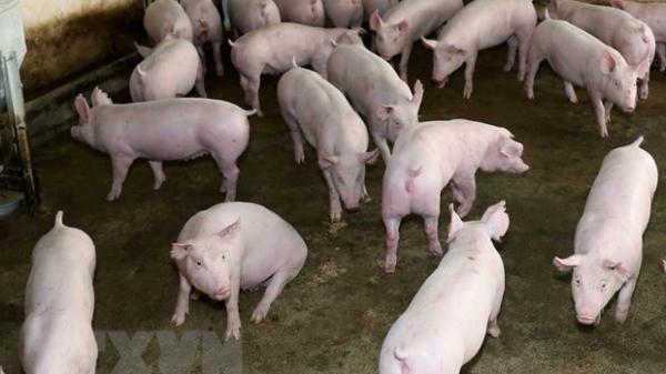 Lào Cai tạm giữ 137 con lợn giống không rõ nguồn gốc
