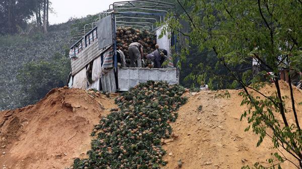 Trung Quốc đột nhiên cắt cầu: Thả.m cảnh dân Lào Cai đổ bỏ cả xe tải dứa cho bò ăn