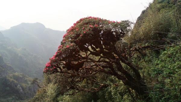 Chiêm ngưỡng hoa đỗ quyên trên đỉnh Hoàng Liên Sơn (Lào Cai)