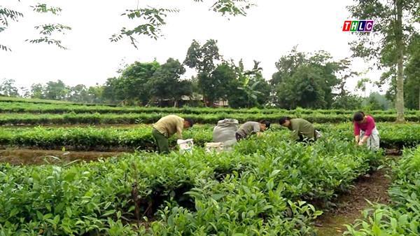 Giá chè búp tươi huyện Mường Khương (Lào Cai) đạt cao