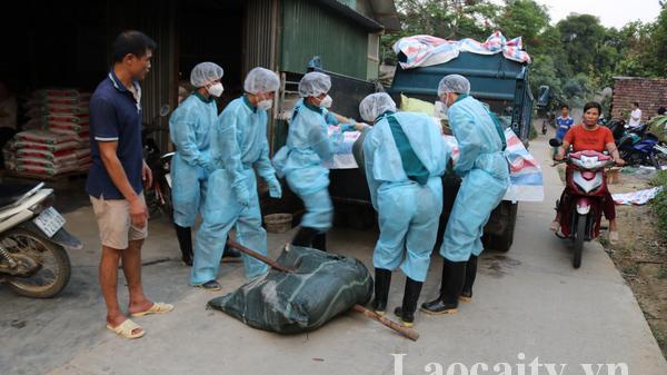 Mường Khương (Lào Cai) tiêu hủy hơn 9 tấn lợn mắc bệnh dịch tả lợn châu Phi