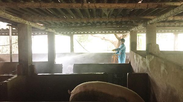 Dịch tả lợn châu Phi xuất hiện tại xã Bảo Hà, huyện Bảo Yên (Lào Cai)