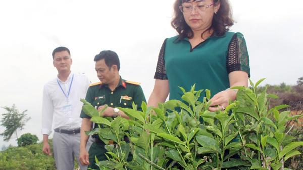 Xã Nậm Chạc, huyện Bát Xát (Lào Cai) khôi phục hơn 35 ha chè