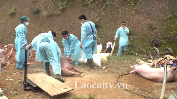 Lào Cai: Tiêu hủy 33 tấn lợn nhiễm dịc.h tả lợn châu Phi