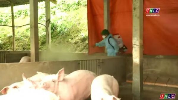 Lào Cai triển khai Chỉ thị số 34 của Ban Bí thư về phòng chống, khống chế dịch tả lợn Châu Phi