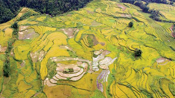 """Cung đường """"săn mùa vàng"""" ở Lào Cai"""
