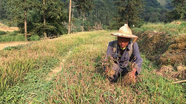 Tả Ngải Chồ (Mường Khương): Gần 60 ha ruộng bị khô hạn