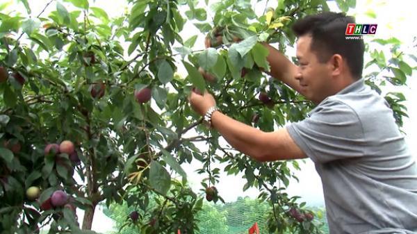Lên Bắc Hà (Lào Cai) trải nghiệm mùa mận Tam hoa chín