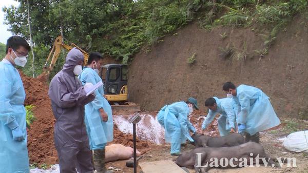 Quy định tạm thời mức hỗ trợ các hộ dân có gia súc, gia cầm phải tiêu hủy do mắc bệnh dịch ở Lào Cai