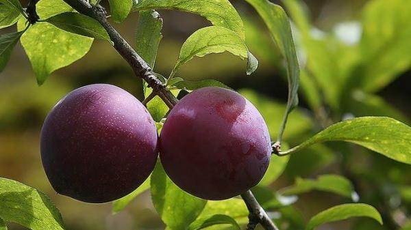 Tứa nước miếng với mùa trái cây Sapa (Lào Cai)