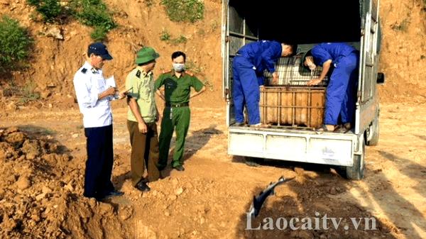 Lào Cai: Tiêu hủy 400 kg cá tầm không rõ nguồn gốc
