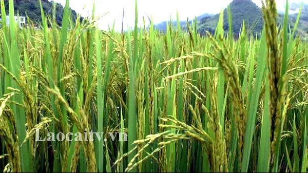 Mường Khương (Lào Cai): 7 ha lúa mùa bị nhiễm bệnh đạo ôn cổ bông