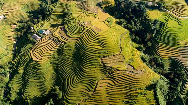 Sắc vàng ruộng bậc thang Sa Pa (Lào Cai)