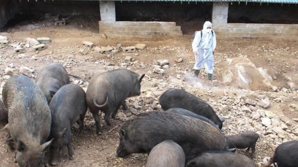 Dịch tả lợn châu Phi tiếp tục lây lan tại Lào Cai