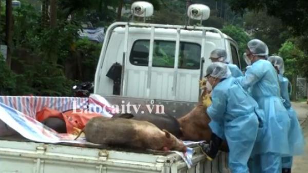 Lào Cai: Dịch tả lợn châu Phi tiếp tục gây hại trên đàn lợn của 1.769 hộ dân