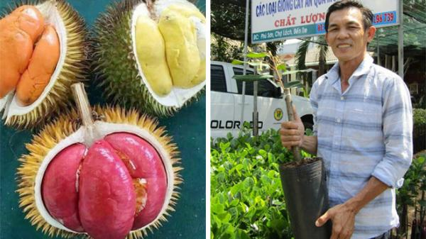 Gian nan đưa giống sầu riêng ruột đỏ Sapa về Việt Nam của người nông dân Bến Tre