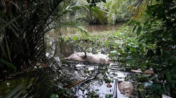 Dịch tả lợn châu Phi: Lào Cai xử lý nghiêm hành vi vứt xa'c lợn ra môi trường
