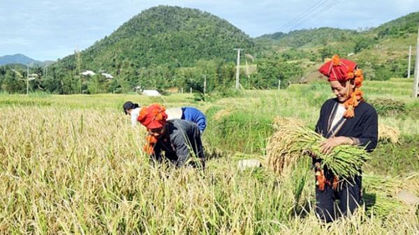 Lào Cai: Nâng tầm giá trị hạt gạo Séng Cù