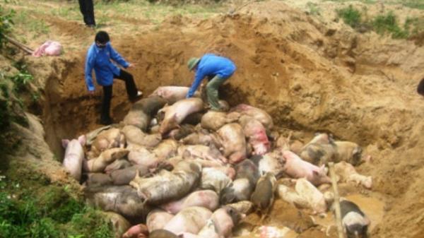 Lào Cai: Gần 7,6 tỷ đồng hỗ trợ tiêu hủy lợn mắc dịch tả lợn châu Phi