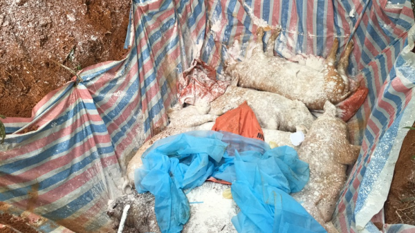 Văn Bàn (Lào Cai) tiêu hủy hơn 3.000 con lợn do bệnh dịch tả lợn châu Phi