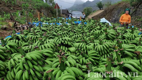 Nông dân Mường Khương (Lào Cai) thu gần 120 tỷ đồng từ trồng chuối