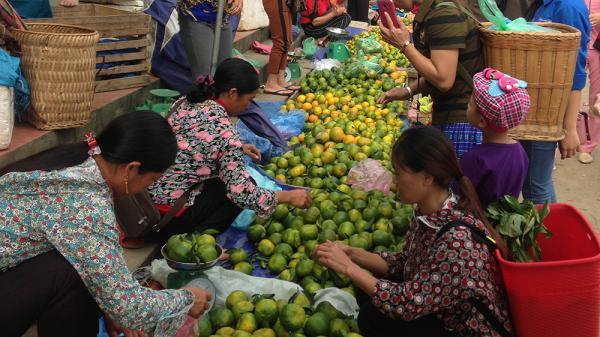Mường Khương: Hơn 100 ha quýt vào vụ thu hoạch