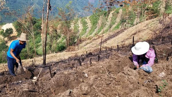 Bát Xát (Lào Cai) mở rộng diện tích vùng trồng chè hàng hóa lên 295 ha