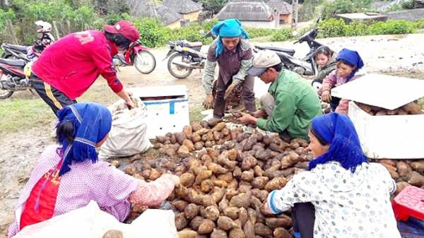 Lào Cai: Sâm đất bán chạy