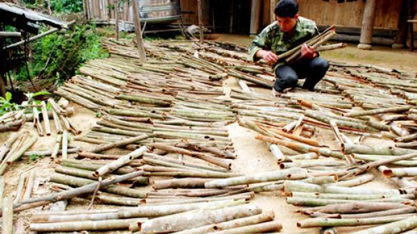 """Lào Cai: """"Cây tiền tỷ"""" làm đổi thay cuộc sống người dân Nậm Đét"""