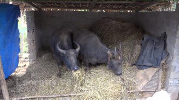 Si Ma Cai (Lào Cai) chủ động chăm sóc, bảo vệ đàn đại gia súc trong mùa đông