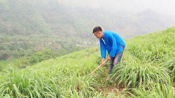 Lào Cai: Đổi đời nhờ cây sả đỏ