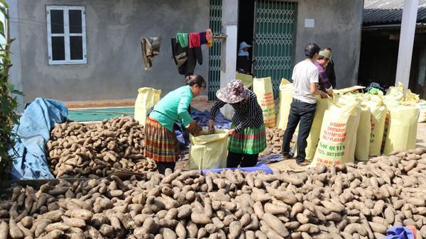 Bát Xát (Lào Cai) vào vụ thu hoạch củ hoàng sin cô