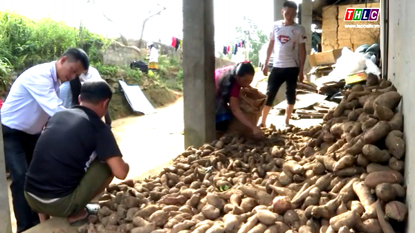 Nông dân Lào Cai thắng lớn vụ thu hoạch củ Hoàng sin cô