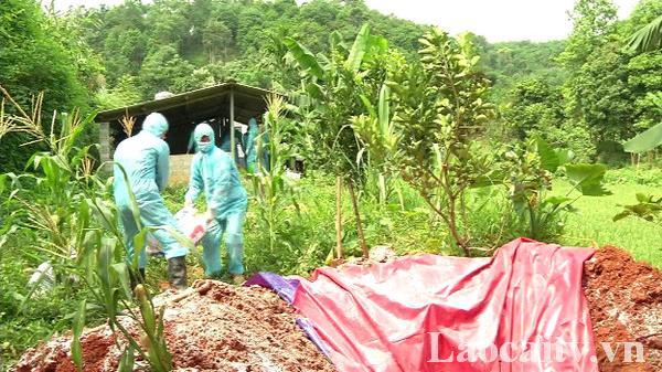 Tháng 10/2019, trên địa bàn tỉnh Lào Cai gần 7.000 con lợn chết vì dịch tả châu Phi