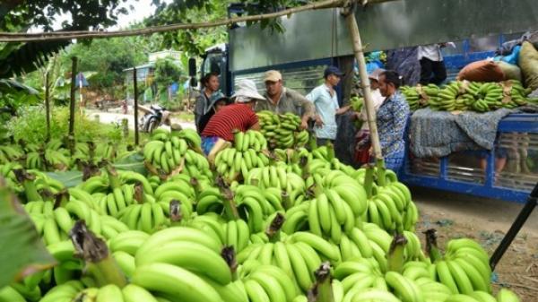 Giá chuối xuất khẩu ở Lào Cai xuống thấp kỷ lục, người dân lao đao
