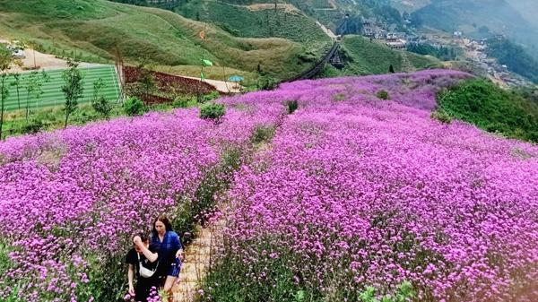 Đẹp ngỡ ngàng đồi hoa tím lịm tại Sa Pa