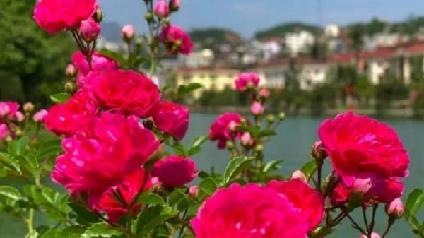 Về Lào Cai ngắm thung lũng hoa hồng tuyệt đẹp nhận kỷ lục lớn nhất Việt Nam