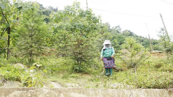 Lào Cai: Trâu, bò chết vì ăn cỏ có phun thuốc diệt cỏ