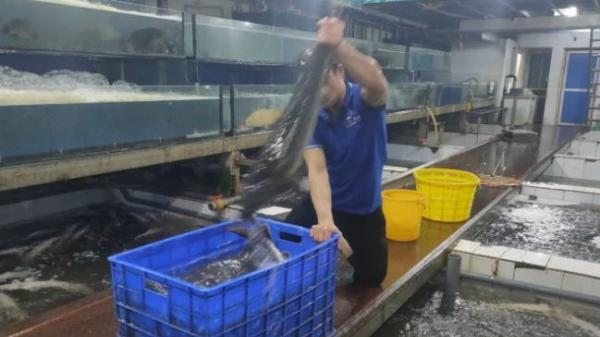 Tổng cục Hải quan hỏa tốc ra văn bản siết chặt nhập khẩu cá tầm