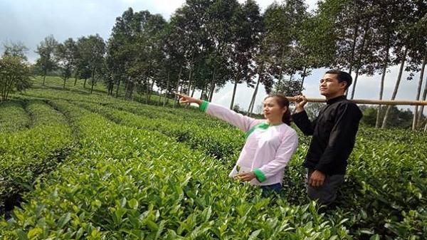 Lào Cai trồng mới 350ha chè chất lượng cao