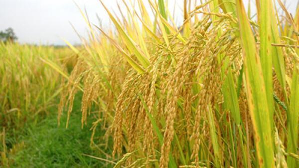 Sai, gạo Nàng Thơm xuất xứ ở huyện Cần Đước