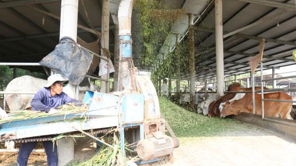 Long An: Chăn nuôi bò thịt ứng dụng công nghệ cao - Còn nhiều khó khăn