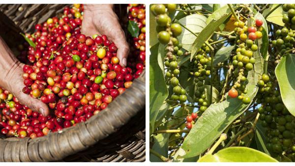 Tây Nguyên: Nông sản ngày 13/11 - Cà phê, hồ tiêu cùng rớt giá