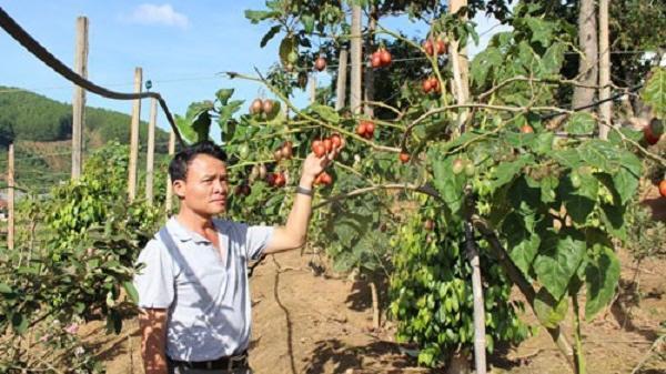 Lâm Đồng: Cà chua thân gỗ: Ế hay không đủ cung?