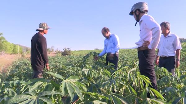Nguy cơ khảm lá mỳ lan rộng tại tỉnh Ninh Thuận